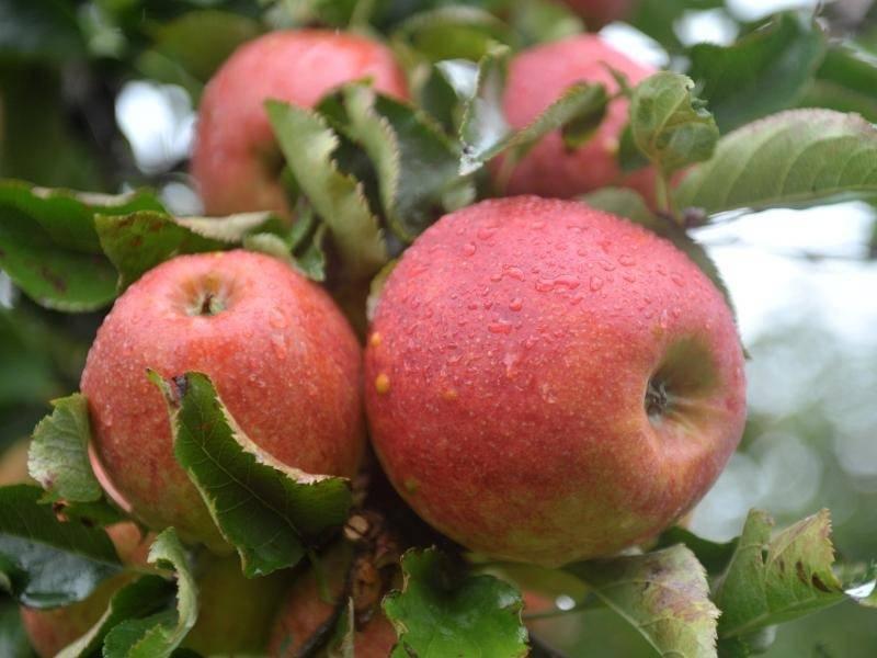 Greenpeace apfelplantagen pestizidbelastet rhein neckar for Artikel von boden
