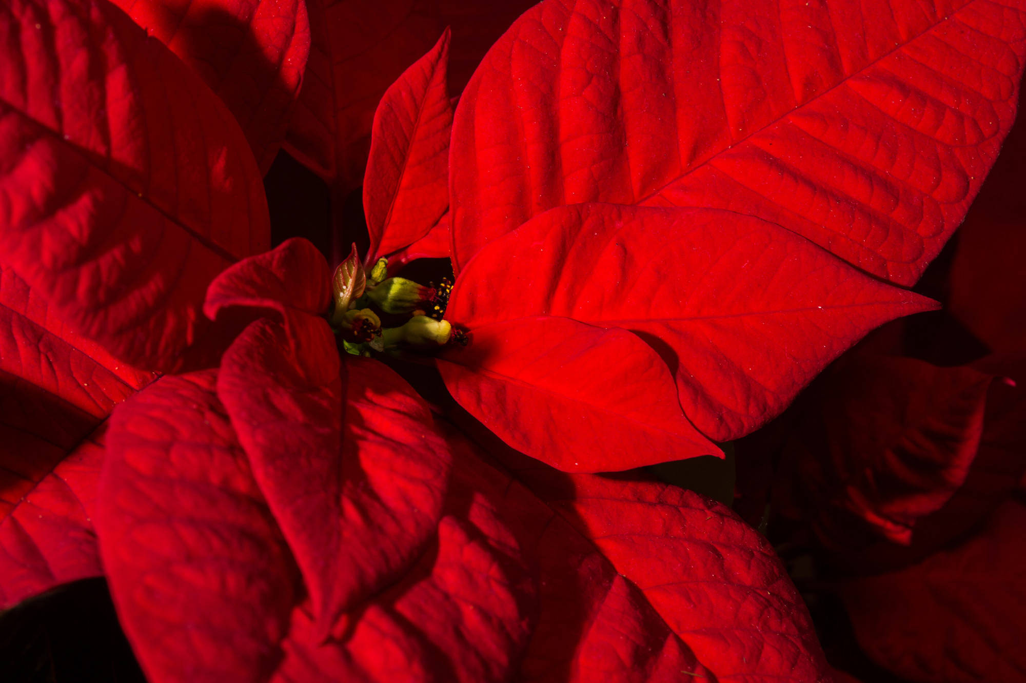 weihnachtsstern kann nach den festtagen in den garten haus garten rhein neckar zeitung. Black Bedroom Furniture Sets. Home Design Ideas