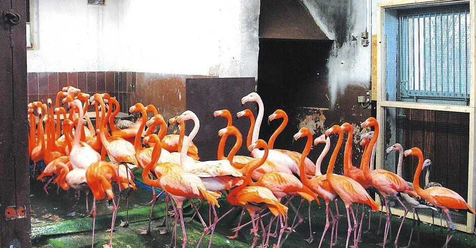 heidelberger zoo flamingos und co m ssen drinnen bleiben nachrichten aus heidelberg rhein. Black Bedroom Furniture Sets. Home Design Ideas