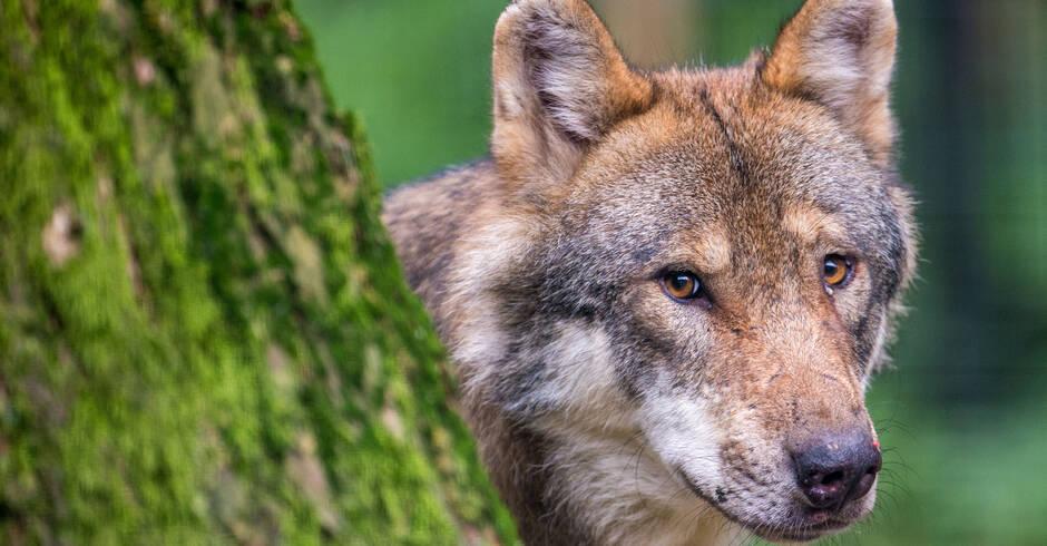 Neckar-Odenwald-Kreis-Wieder-ein-Wolf-in-Mudau-gesichtet