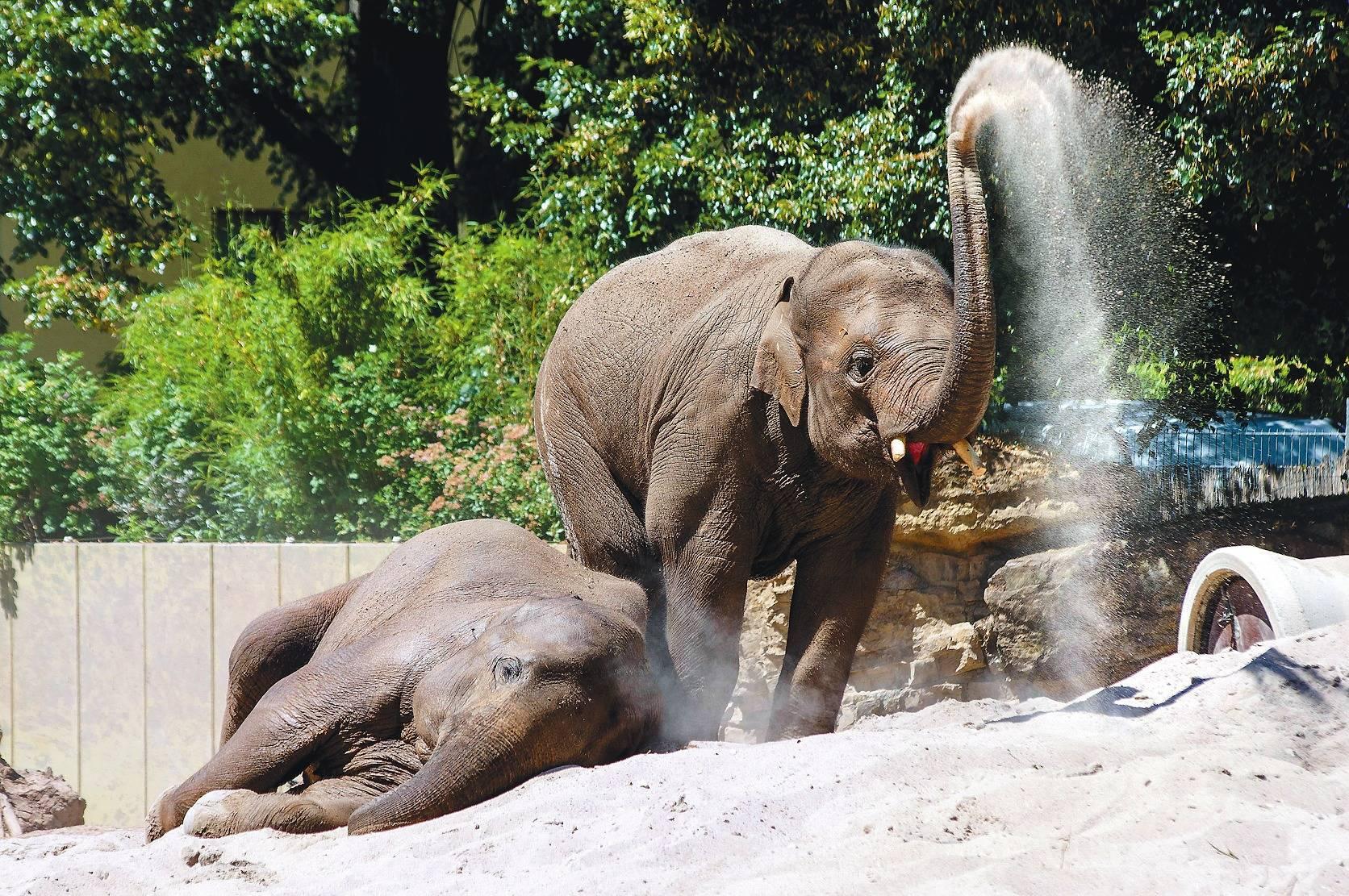 Heidelberger Zoo Jungelefant Wiggerl Hat Sich Gut