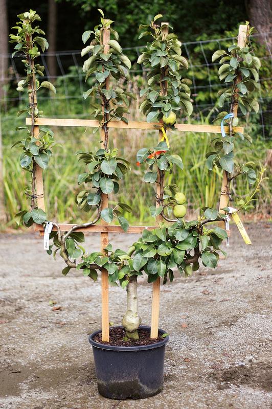 Viel Obst Auf Kleiner Flche Spalierobst In Den Garten