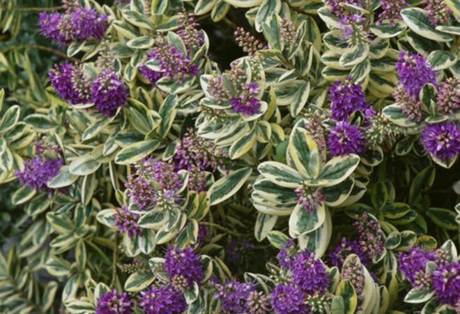 Veronica Pflanze
