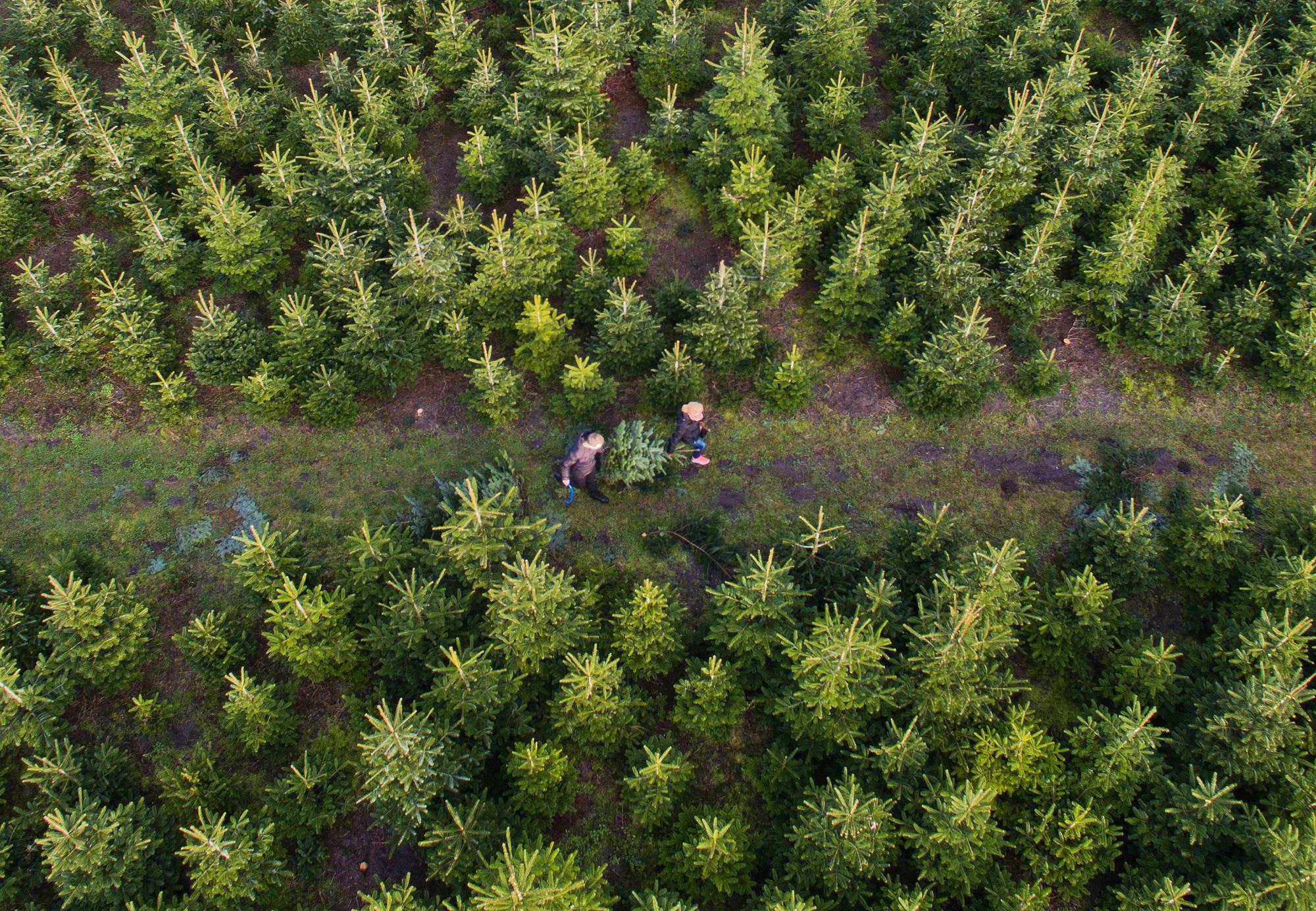 Nordmanntannen aus dem Schriesheimer Wald Viele Familien