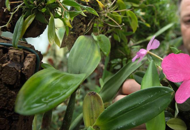 Gelbe Blätter An Orchidee Haus Garten Rhein Neckar Zeitung
