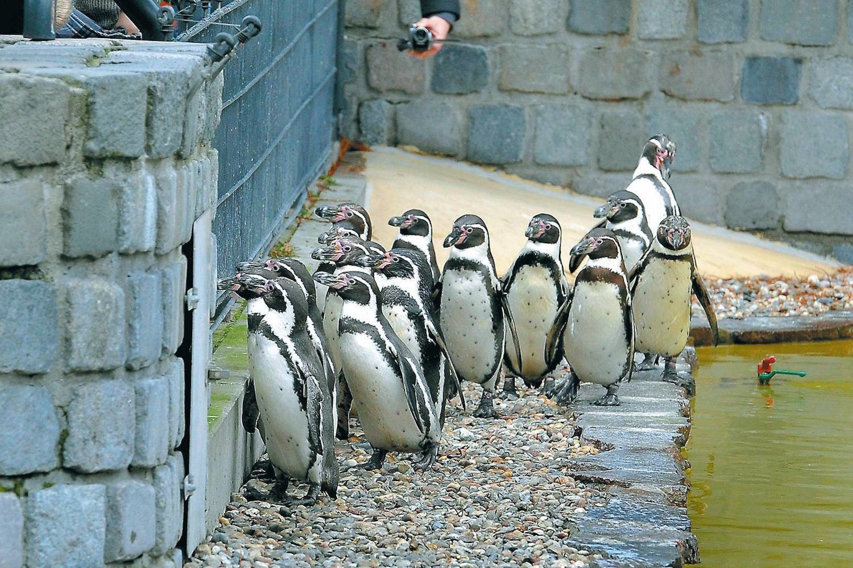 pinguin aus mannheimer luisenpark verschwunden update nachrichten aus mannheim rhein. Black Bedroom Furniture Sets. Home Design Ideas