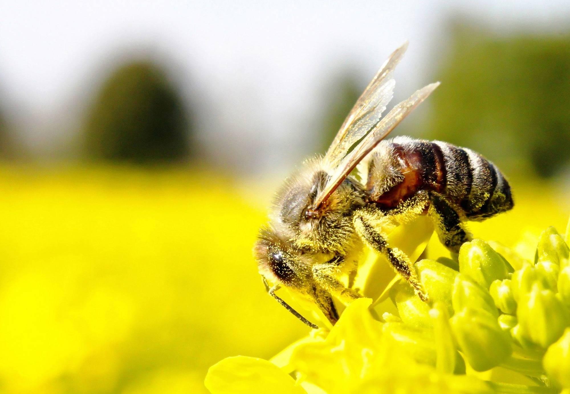 bedeutung der bienen kein honig schmeckt wie der andere eberbach rhein neckar zeitung. Black Bedroom Furniture Sets. Home Design Ideas