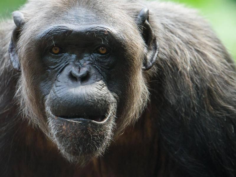 auch f r menschen gef hrlich milzbrand unerwartet viele todesf lle bei schimpansen. Black Bedroom Furniture Sets. Home Design Ideas