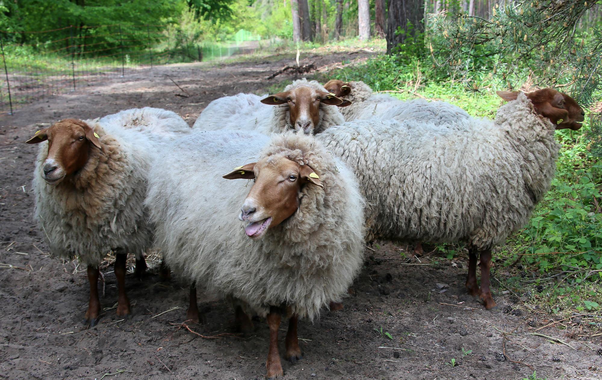 Schwetzinger hirschackerwald schlaue ziegen und schafe for Schafe halten im garten