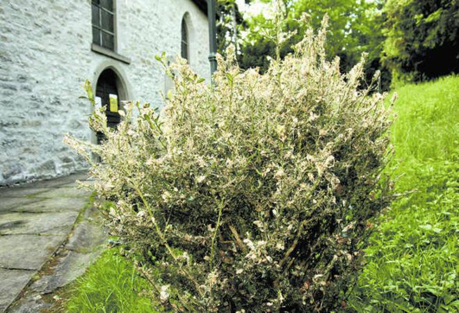 Buchsbaum Schadling Vermehrt Sich Fast Ungehemmt Sudwest Rhein