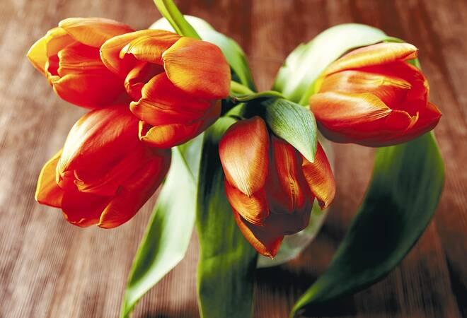 tulpen frische tulpen quietschen haus garten rhein neckar zeitung. Black Bedroom Furniture Sets. Home Design Ideas