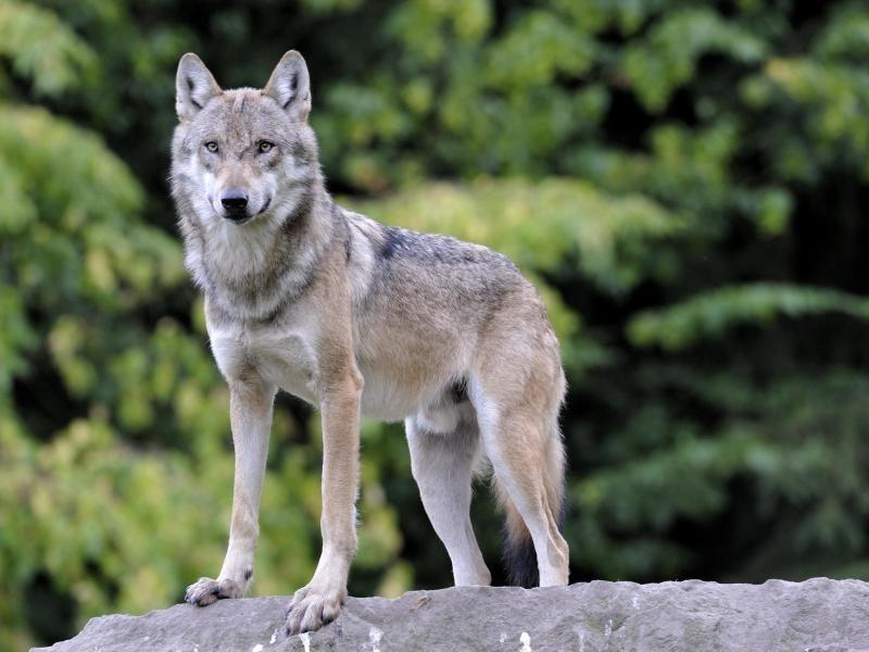 wolf hund mischlinge experten rechnen mit steigender zahl an wolfshybriden panorama rhein. Black Bedroom Furniture Sets. Home Design Ideas